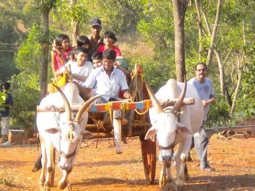 Village bull cart